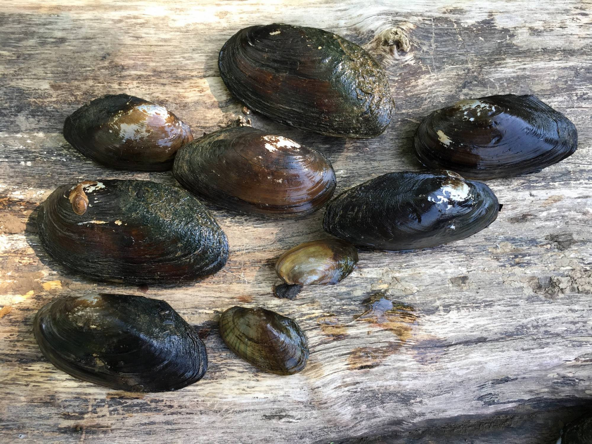 These 9 mussels of 4 species where found inside one of the PVC-pipe cages where we propagate submerged aquatic vegetation at Buzzard Point, near the confluence with the Potomac River.
