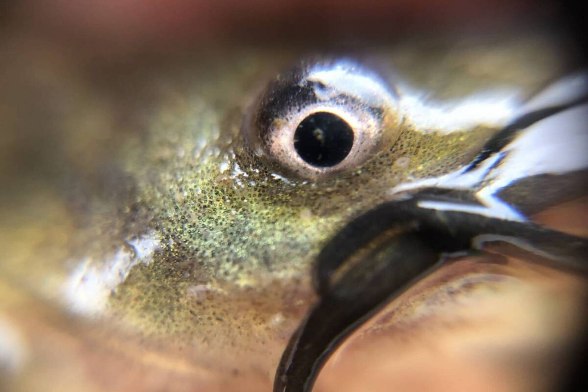 A close view of the eye and whiskers of a young brown bullhead catfish found within one of our mussel baskets at Kingman Lake.