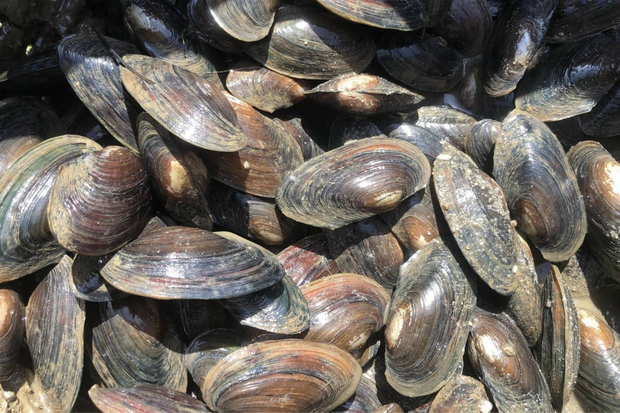 Our alewife floaters have shown remarkable shell growth, their growth rate is known to be faster than that of pondmussels or lampmussels.  In order to survive they need specific host fish from the shad family like American Shad and herring.
